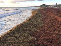Sargassum: cleaning of Cul de Sac has been delayed by the compagny in charge of the operation