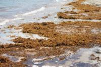 Global Tourism Resilience Centre to partner with MIT on Sargassum Research